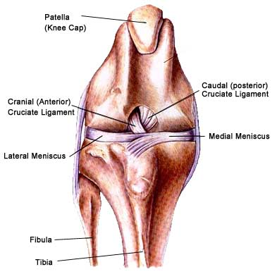 Clicking Sound, Cranial Cruciate Ligament (CCL) or Knee